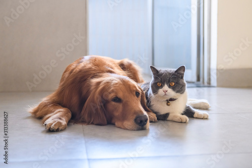 Fototapeta British shorthair and golden retriever obraz
