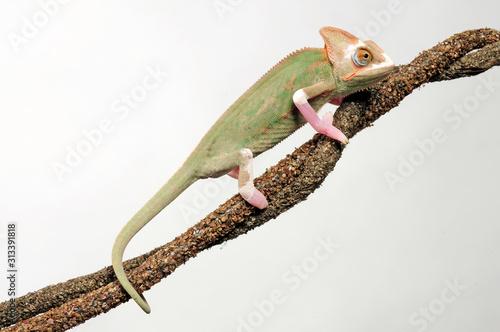 Fotografia, Obraz  Veiled chameleon / Jemenchamäleon (Chamaeleo calyptratus) Halbalbino
