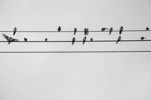 Group Of Swallow Hirundinidae ...