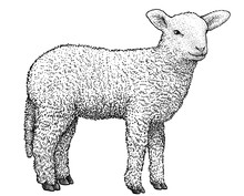 Lamb Illustration, Drawing, En...