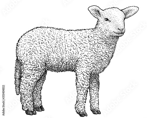 Fotografiet Lamb illustration, drawing, engraving, ink, line art, vector