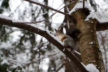 Wild Squirrel Portrait In Winter Forest. Red Squirrel Jumping
