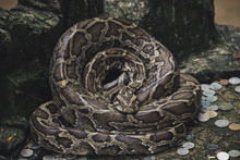 Close Up Of Burmese Python Sna...