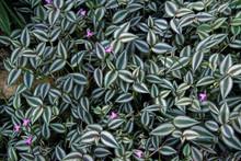 Tradescantia Zebrina, A Spiderwort