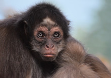 Female Brown Spider Monkey Close Up Of Head, Face And Upper Body