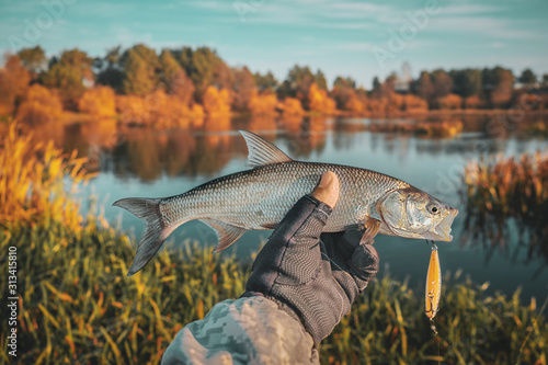 Photo Asp in the hand of a fisherman against the backdrop of an autumn river