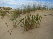 Sand Dunes With Green Plants I...