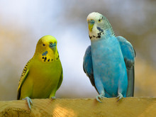 Two Budgerigars (Melopsittacus Undulatus) Perched And Seen From Front