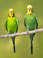 Two Yellow And Green Budgeriga...