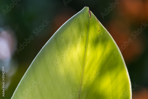 the silhouette of a leaf accentuated by the sun, becomes something so interesti Canvas Print