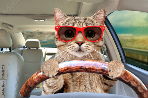 Fototapeta Portrait of a cat with sunglasses driving a car