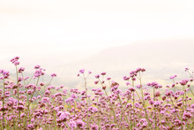 Verbena Flowers Are Blooming In The Morning.Purple Flowers On The Mountains In The Winter In Thailand.