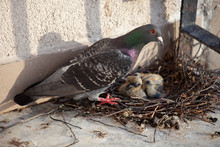 Adult Pigeon And A Small Hatch...