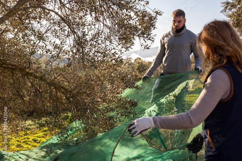 Woman and man gathering harvest in olive farm
