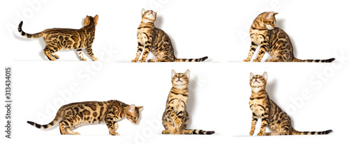 Photo Bengal kitten looks up on a white background