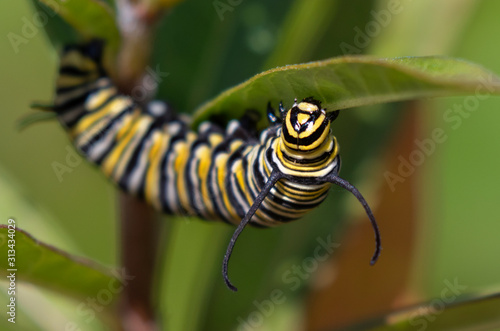 Photo Monarch (Danaus plexippus) caterpillar feeding on milkweed plant, Galveston, Tex