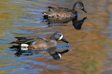 A Couple Of Blue-winged Teals ...