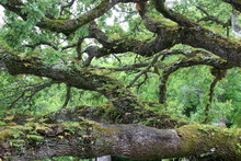 Huge Moss-covered Branches Of ...