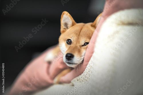chien shibainu dans le canapé Canvas Print