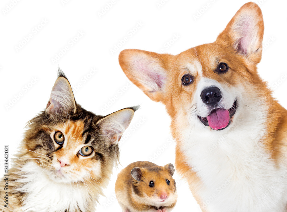 Fototapeta Puppy and kitten and guinea pig.