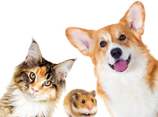 Puppy and kitten and guinea pig.