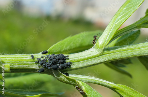 Aphis colony for feeding ants on green plant under sun Canvas Print
