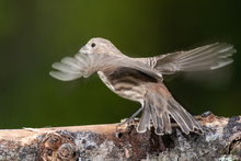House Finch About To Take To F...