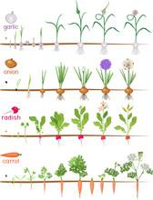 Set Of Life Cycles Of Vegetabl...