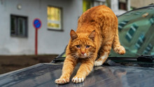 Cute Red Stray Cat Sitting On ...