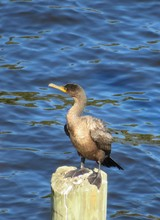 Cormorant On Blue Water Background