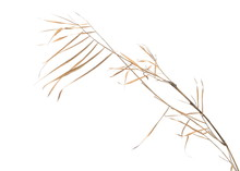 Dry Cane Reed Leaves Isolated ...