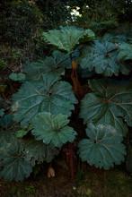 Gunneraceae(Gunera Manicata) O...