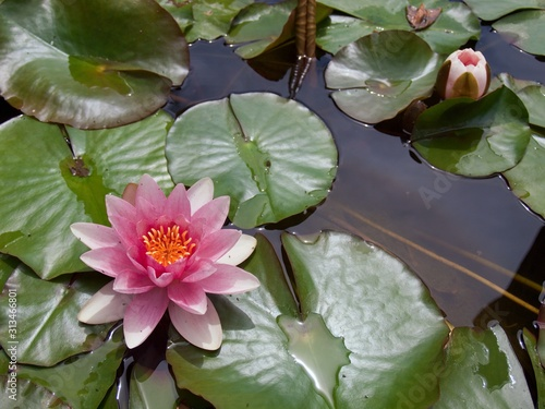 Photo Blooming water lily