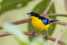 Blue-winged Mountain-tanager -...