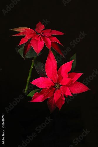 Primo piano del fiore rosso della stella di Natale, anche conosciuto come la stella di Natale o la stella di Bartolomeo isolata su fondo scuro Canvas Print