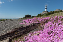 Cape Campbell Lighthouse With A Mat Of Purple Flowers On The Beach In The Foreground. Marlborough District, South Island, New Zealand.