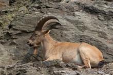 Mountain Goat Relaxing