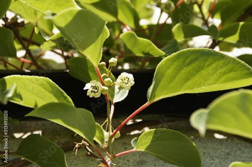 Blühende Kiwipflanze mit mehreren Blüten im Juni Canvas Print