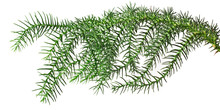 Branch Araucaria Isolated On W...