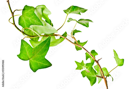 Fotografia Green ivy plant (Hedera helix) isolated on white background