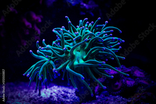 Euphyllia torch coral Wallpaper Mural