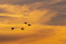 Ducks Flying In Flock With Sun...