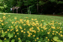 Yellow Wildflowers In The Garden With Clothes Drying On The Clothesline Behind Them