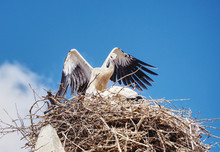 Stork In The Nest Flying