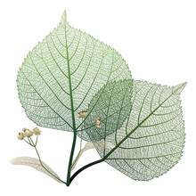 Linden Leaves Veins Isolated. Vector Illustration. EPS 10