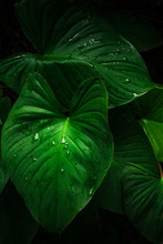 Large Foliage Of Tropical Leaf In Dark Green With Rain Water Drop Texture, Abstract Nature Background. Spring Time.