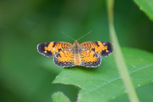 Butterfly 2019-185 / Silvery Checkerspot (Chlosyne Nycteis)