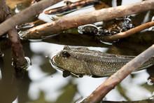 Mudskipper In Water