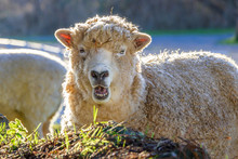 Woolly White Sheep Backlit In ...