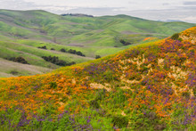 A Hill Full Of Poppies During ...